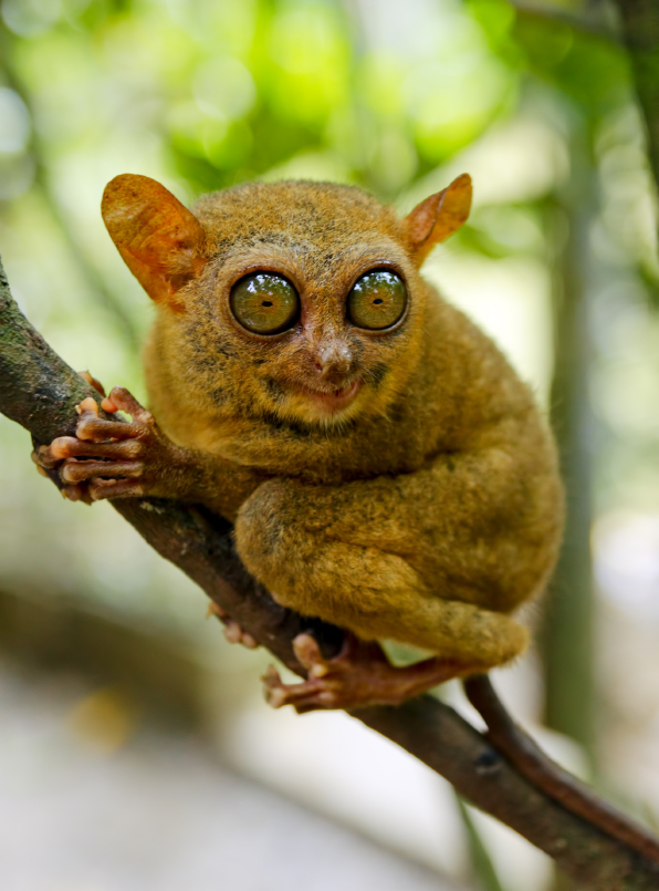 A tarsier pondering its fate