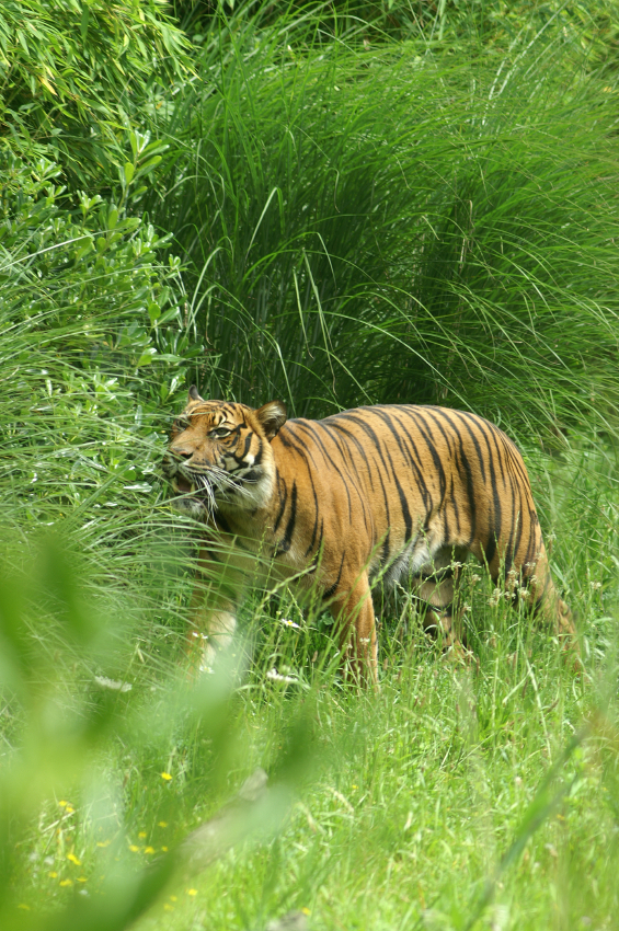 A vegan tiger eating grasses on the Serengeti Plain