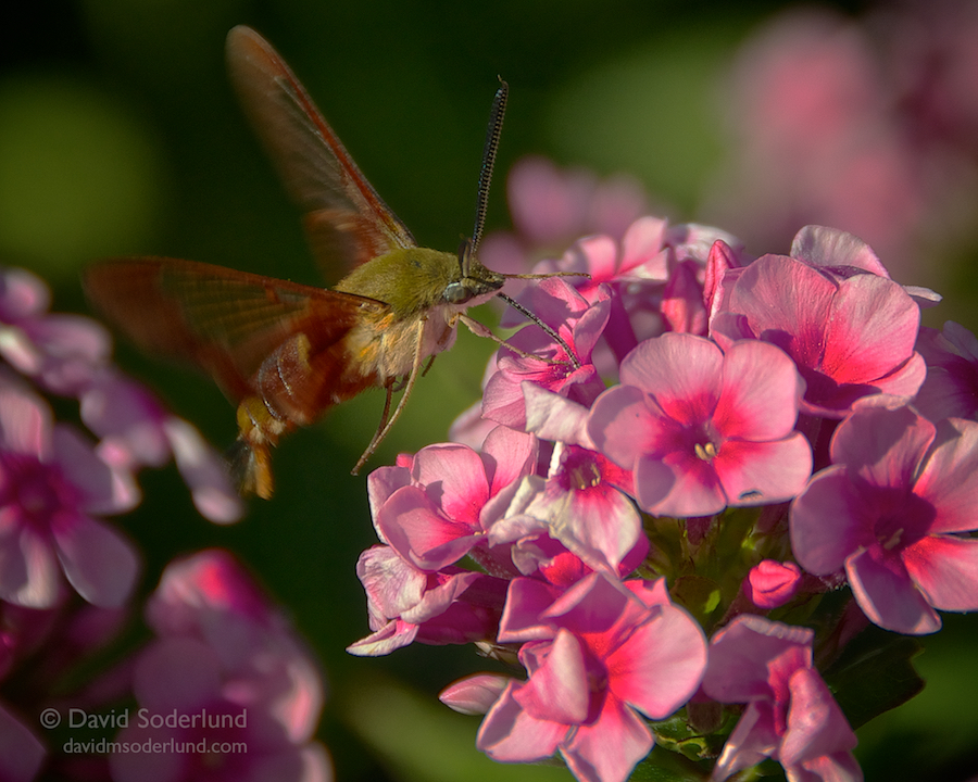 Hummingbird moth   Nikon D90 + Nikon 18-200mm f/3.5-5.6 VR; Anthony Road Winery, Penn Yan, NY.