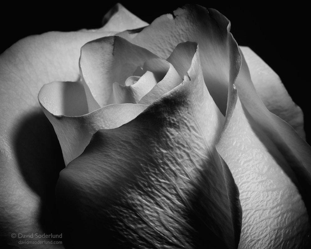 (Un)Red Rose