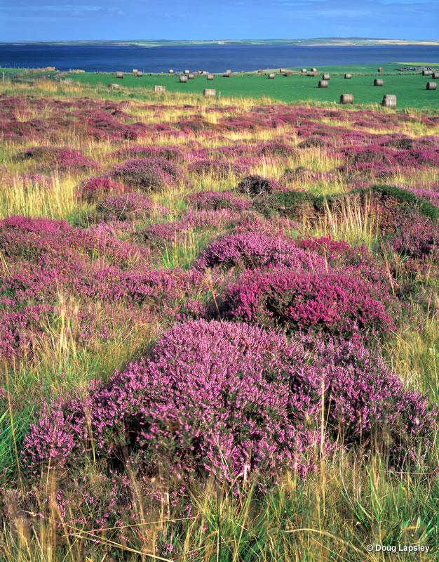 Heather field - Gorseness - Orkney