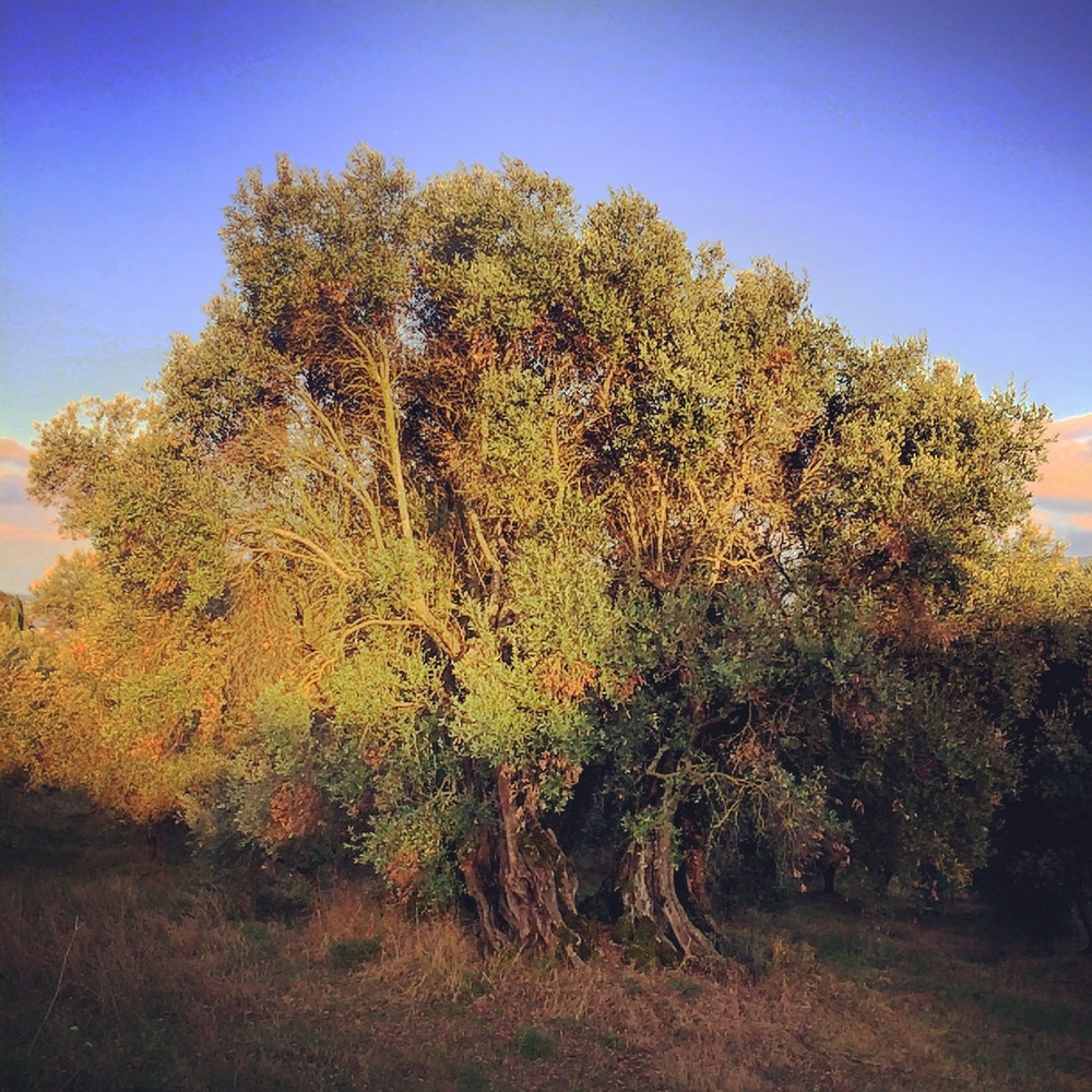 The 1,000+ year old olive tree owned by Morizio, under study by the local University of Perugia.