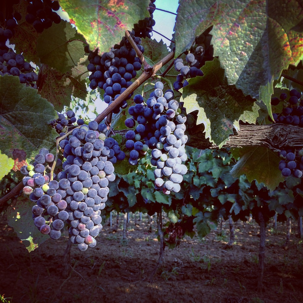Grapes that Spenny and I found on our run.