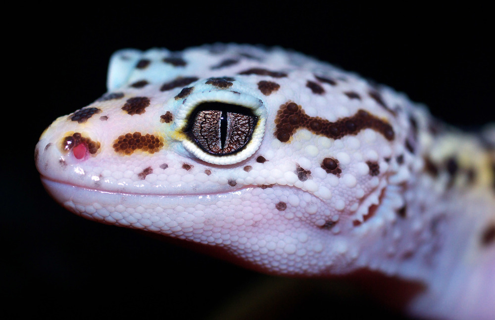 The Leopard Gecko,Eublepharis macularius