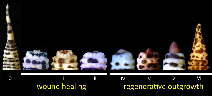 Dorsal views of an original tail (o) and the seven stages of normal tail regeneration (I-VII).  These stages can be broadly organized into phases of wound healing (stages I-III) and regenerative outgrowth (IV-VII).  Timeframe for regeneration is 25-30 days.  See McLean and Vickaryous (2011) and Delorme et al. (2012) for details.