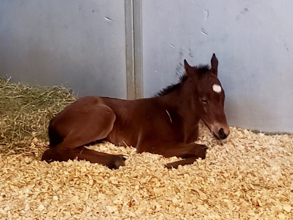 First foal of the year, a Thoroughbred filly, born 1/19/19. She is out of Unofficial Winner by Abstraction.