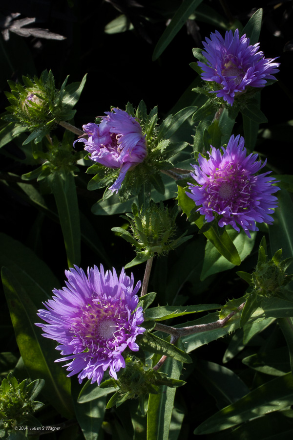 The beautiful flowers and interesting buds of the small Stokes-Aster ( Stokesia laevis  'Blue Danube') create a pleasant scene.