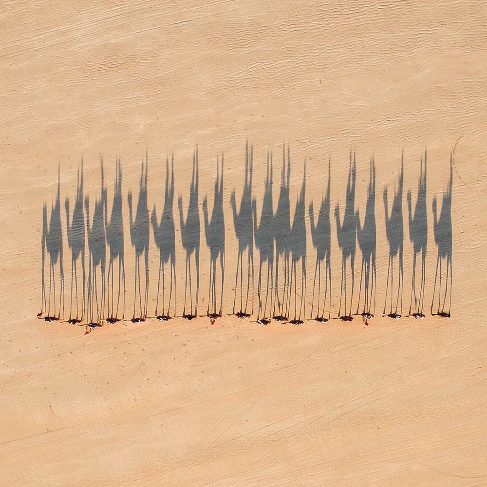 "In this week's ""Drone Sunday"" post from From Where I Drone, a caravan of camels is herded across the Australian Outback, casting shadows on the barren terrain. Between 1870 and 1920, roughly 20,000 camels were brought to Australia from India, Afghanistan, and the Arabian Peninsula. Today, the country's feral camel population is between 1 and 1.2 million, and is considered a nuisance to Outback communities. For more awesome drone imagery, follow From Where I Drone!  26°47'56.9""S, 137°44'02.3""E  Source imagery: Jarrad Seng Photography"