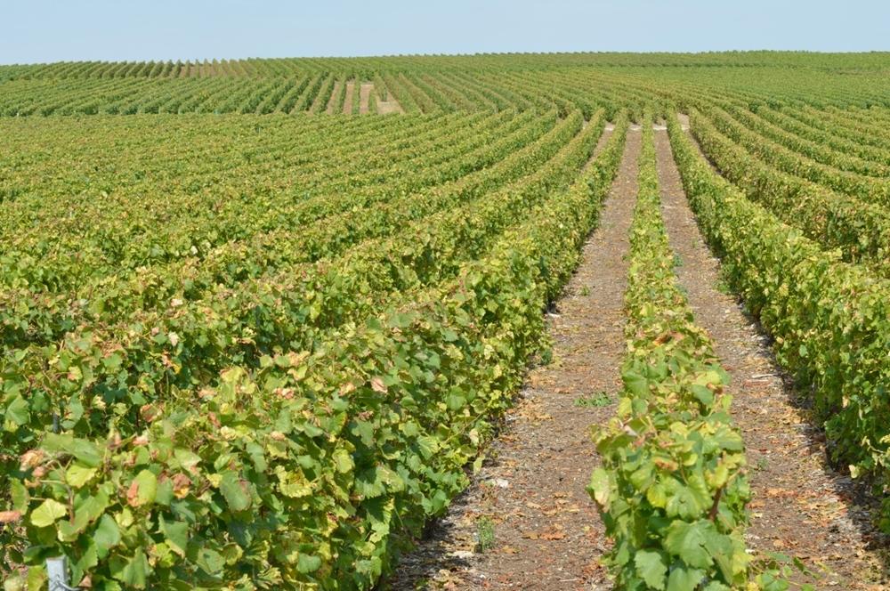 Alignement des vignes (Photo TLQ)