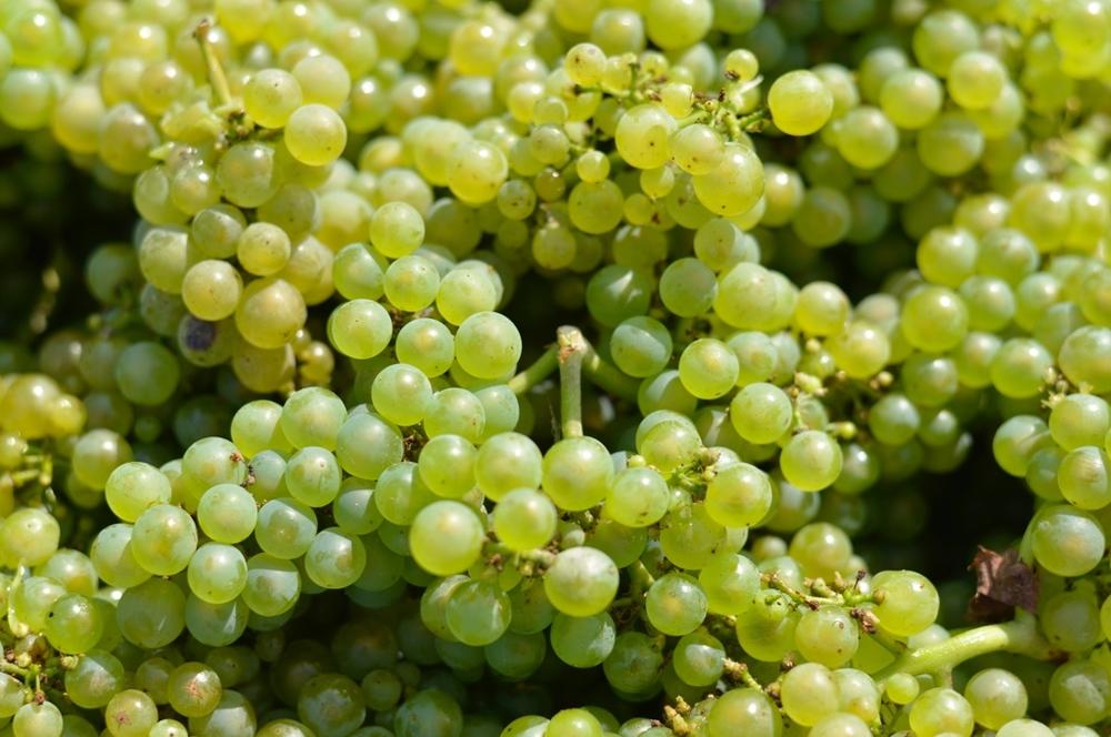 L'or vert de la Champagne : le Chardonnay