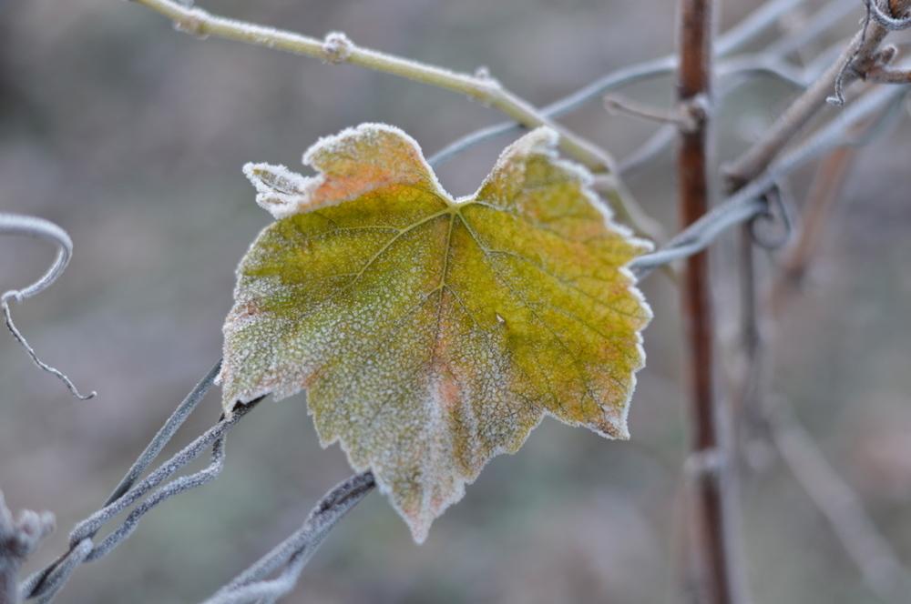 Les Feuilles de vigne résistent au givre (Photo TLQ)