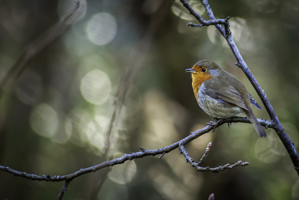 Robin in the woods