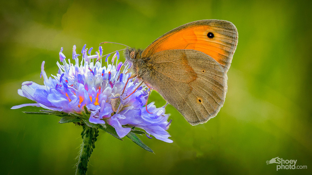 Meadow Brown Butterfly     (Click   image to enlarge)