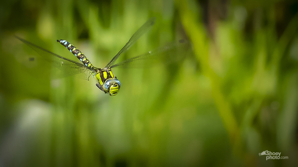 Southern Hawker Flying