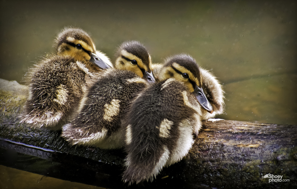 3+Ducklings+Crop-Edit copy.jpg