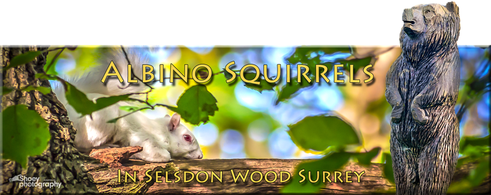 Albino Squirrel Banner.jpg