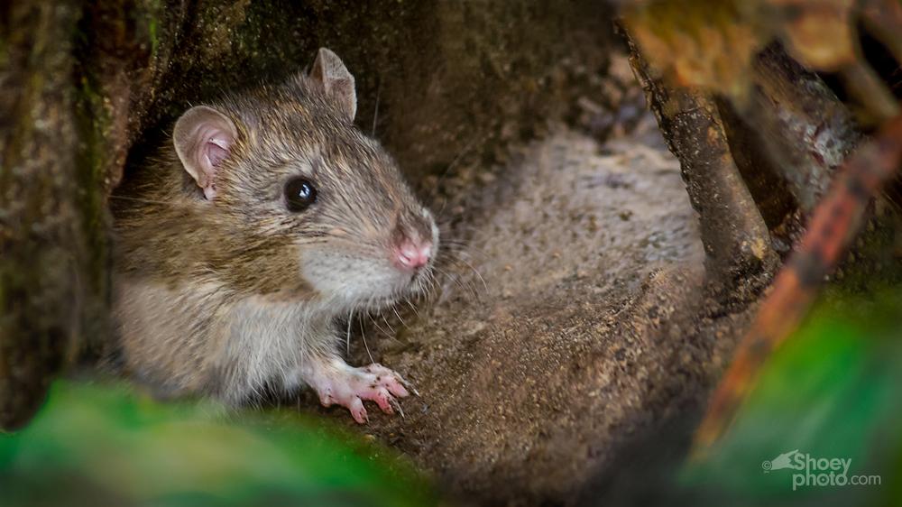 Rat 1-1.jpg