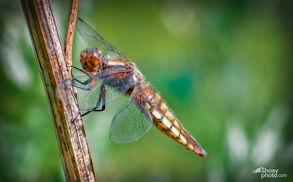 Chaser Dragonfly FrameA.jpg