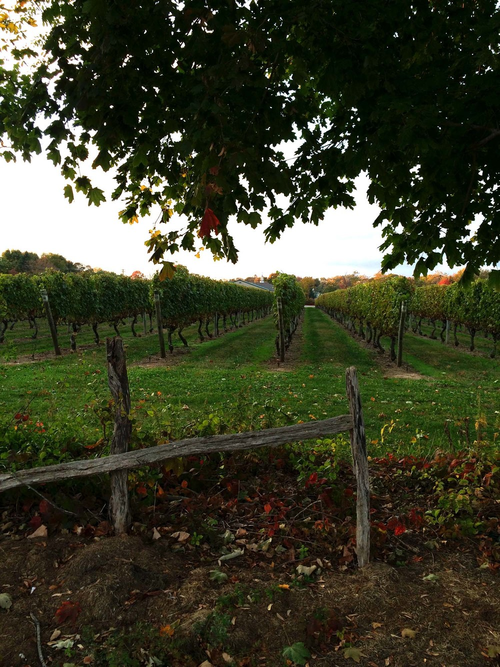 Vineyard  |  North Fork, Long Island  | Image:  Laura Messersmith