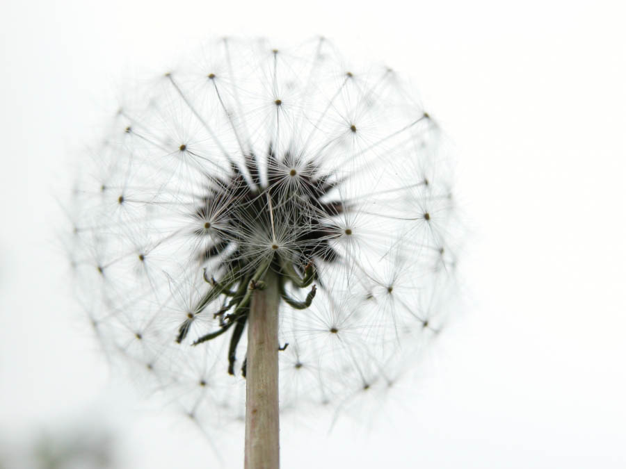 dandelion_bright_stalk_280932_h (1) big.jpg
