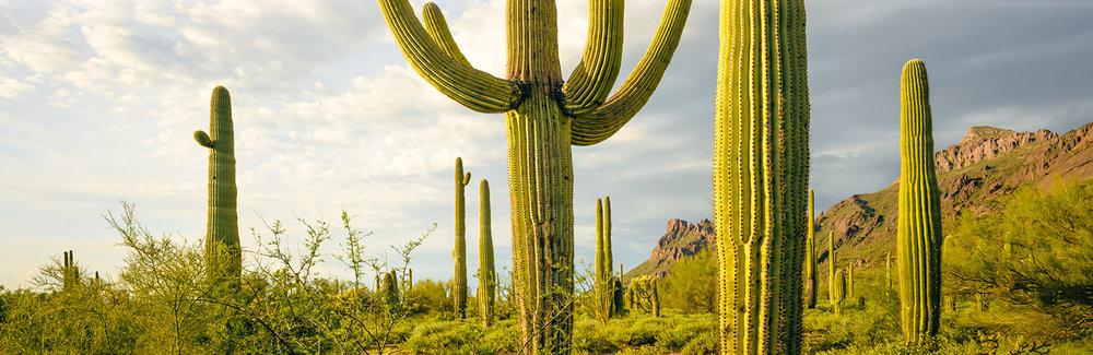 A Mtg of Saguaros WCI scan skewed copy.jpg