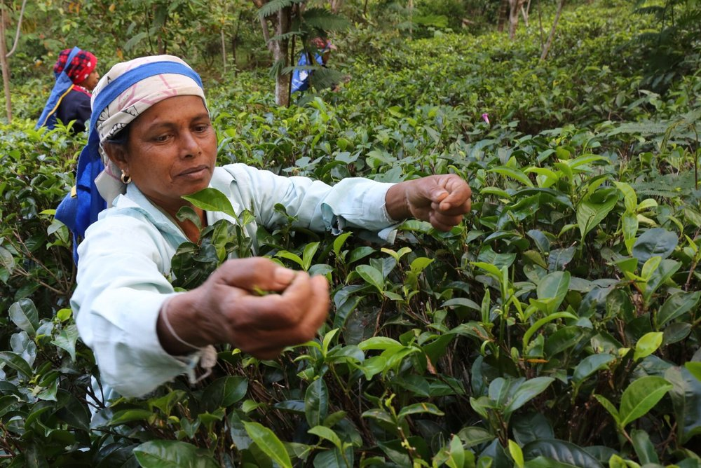Tamil and Sinhalese workers pick tea at Amba Estate. Ambadandegama Valley, Sri Lanka