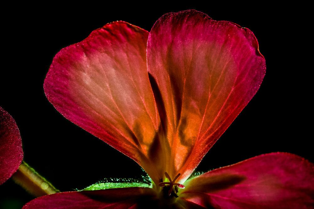 """""""Love of a Flower"""", Tower Hill Botanical Garden"""