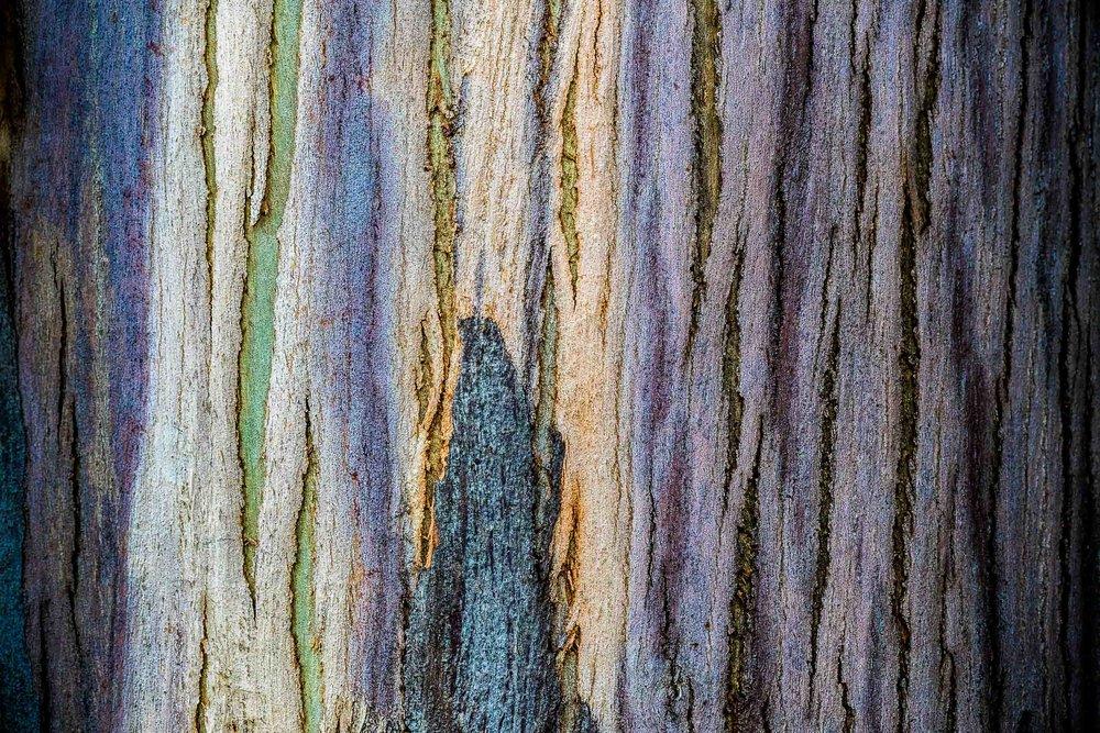 """Eucalyptus Bark"", CA"