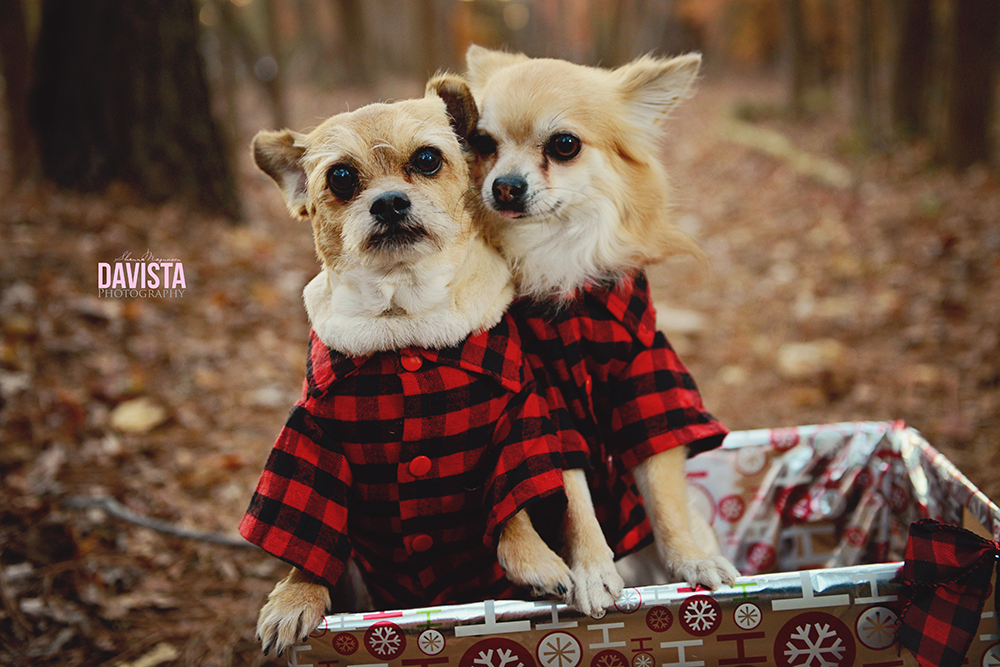 adorable Hampton roads pet photography Christmas