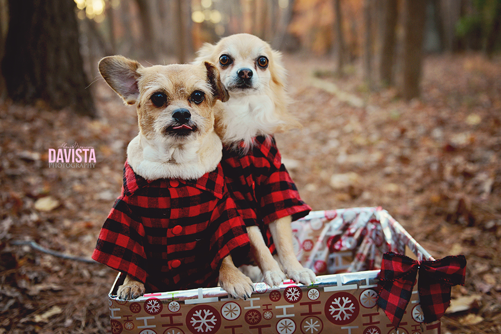 two dogs in buffalo plaid for photos