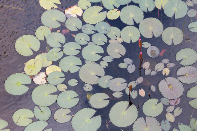 Lilly Pads by Ana Maria Muñoz.png