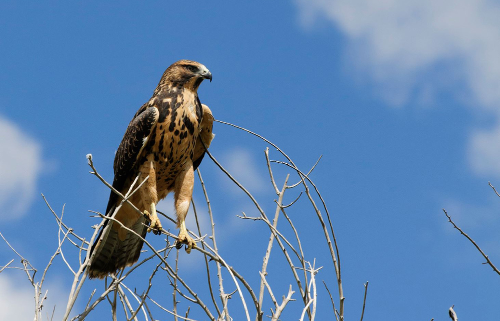"About - ""The Bosque Sentinels"" Hawks Aloft"