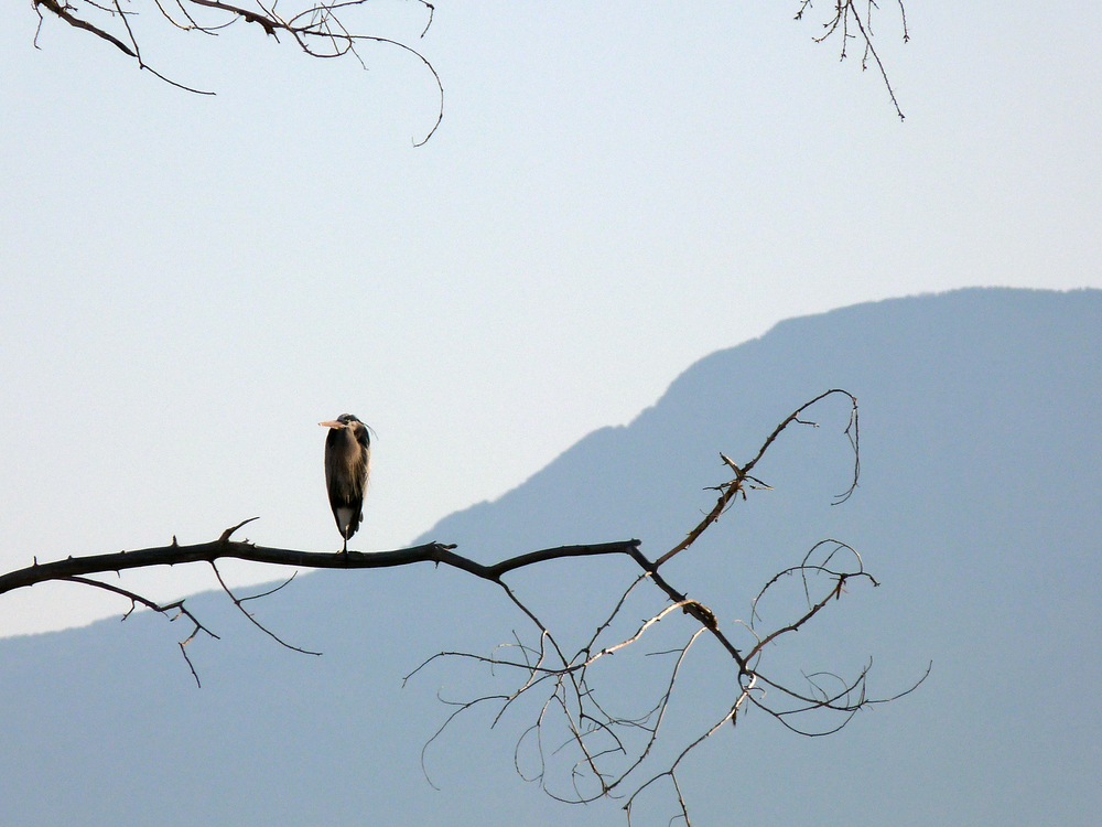 heron and mountain3.jpg