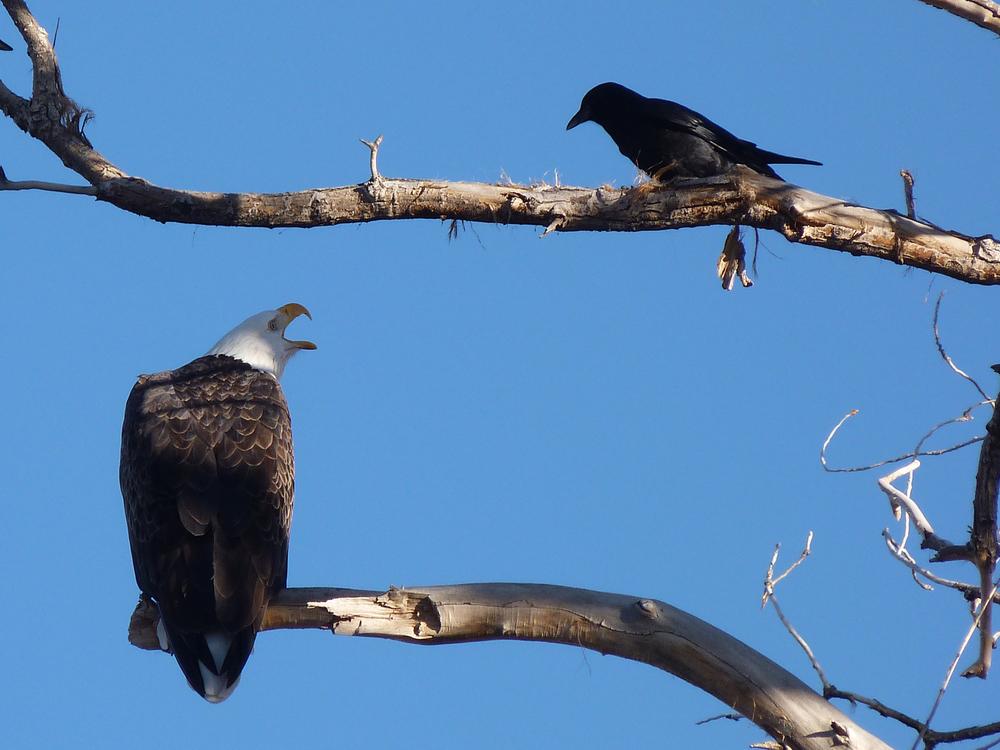 bad crow.jpg