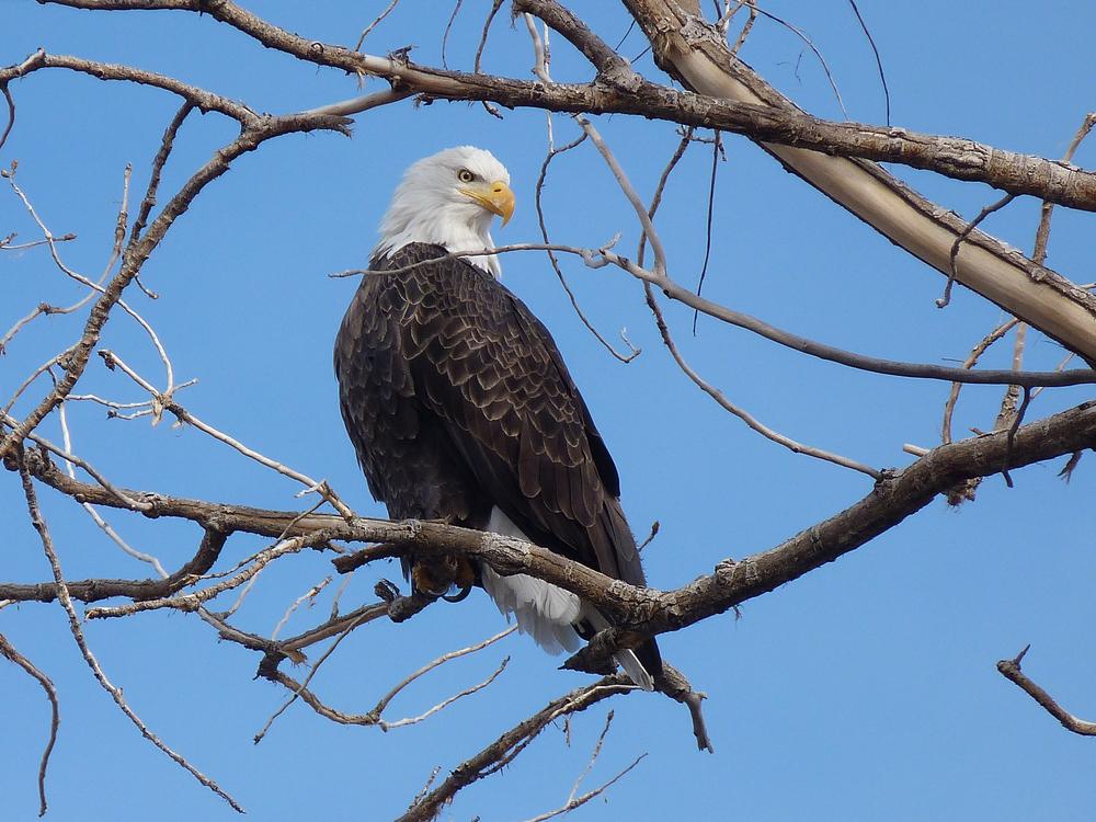 bald eagle (3).jpg