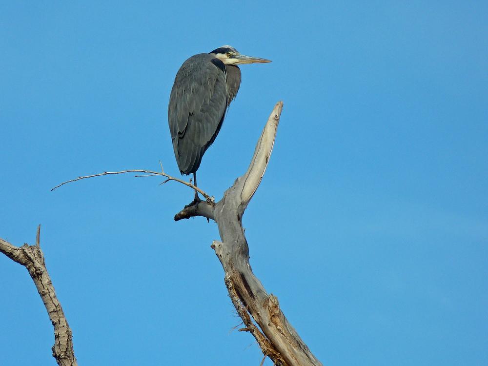 blue heron (2).jpg