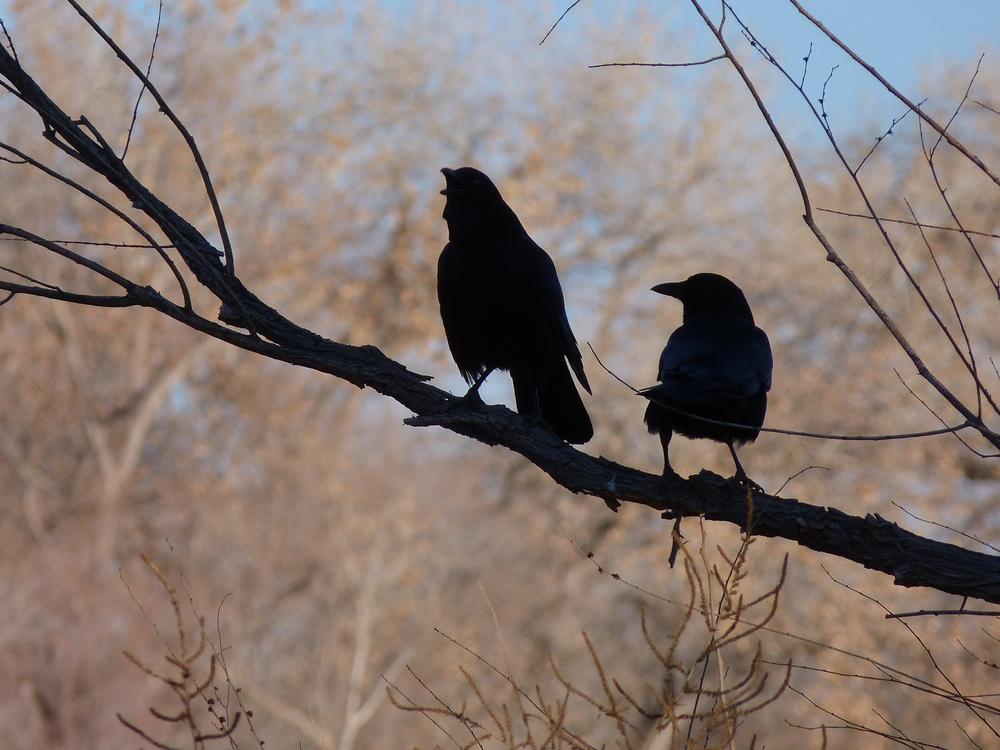 crows 1 (2).JPG