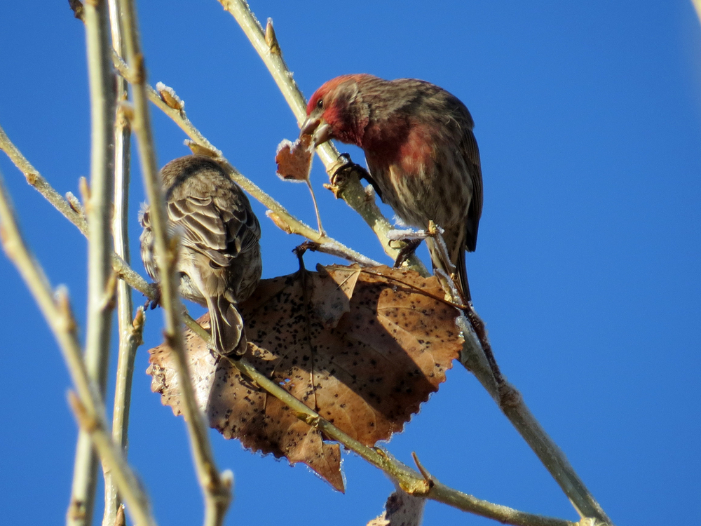 finch pair close.jpg