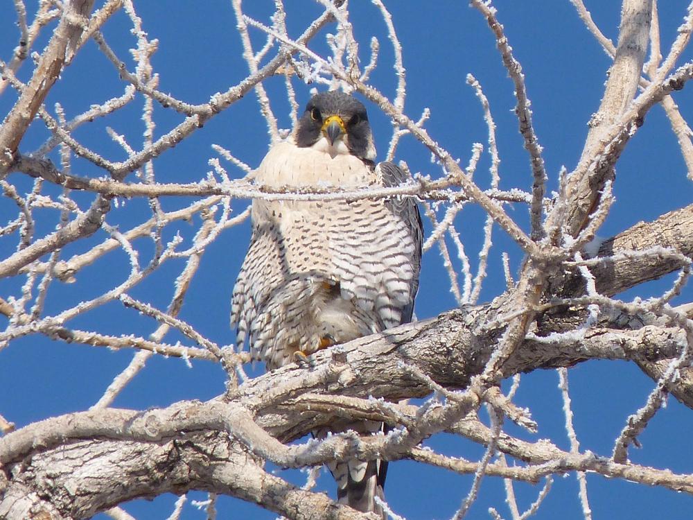 peregrine falcon (2).jpg