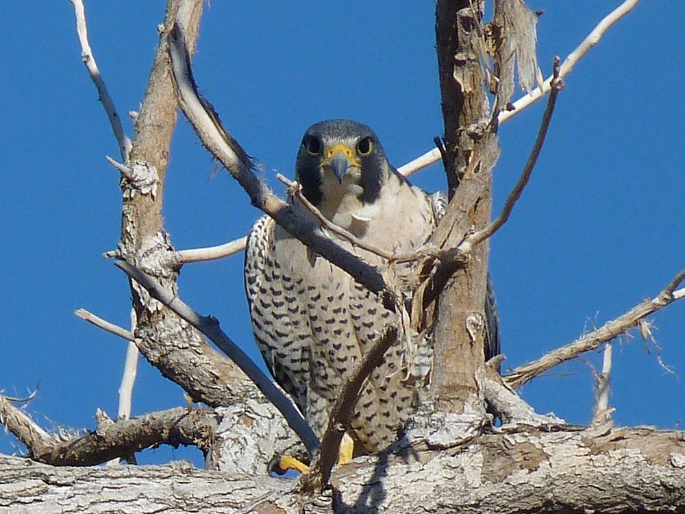 peregrine falcon (3).jpg