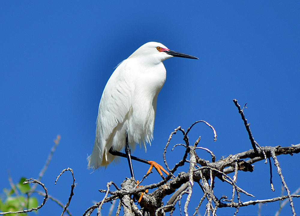 Snowy Egret in Tree small.jpg