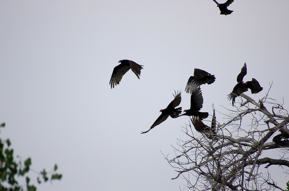 Turkey Vultures Taking Off From Tree+++.jpg