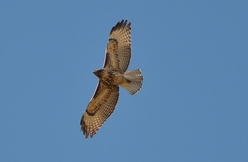Red-tailed Hawk in Flight$.jpg
