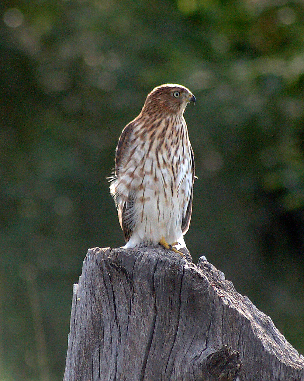 Cooper's Hawk on Stump3+++8 by 11 (1).jpg