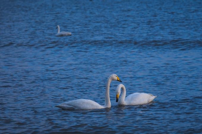 swan-2429607_1280.jpg