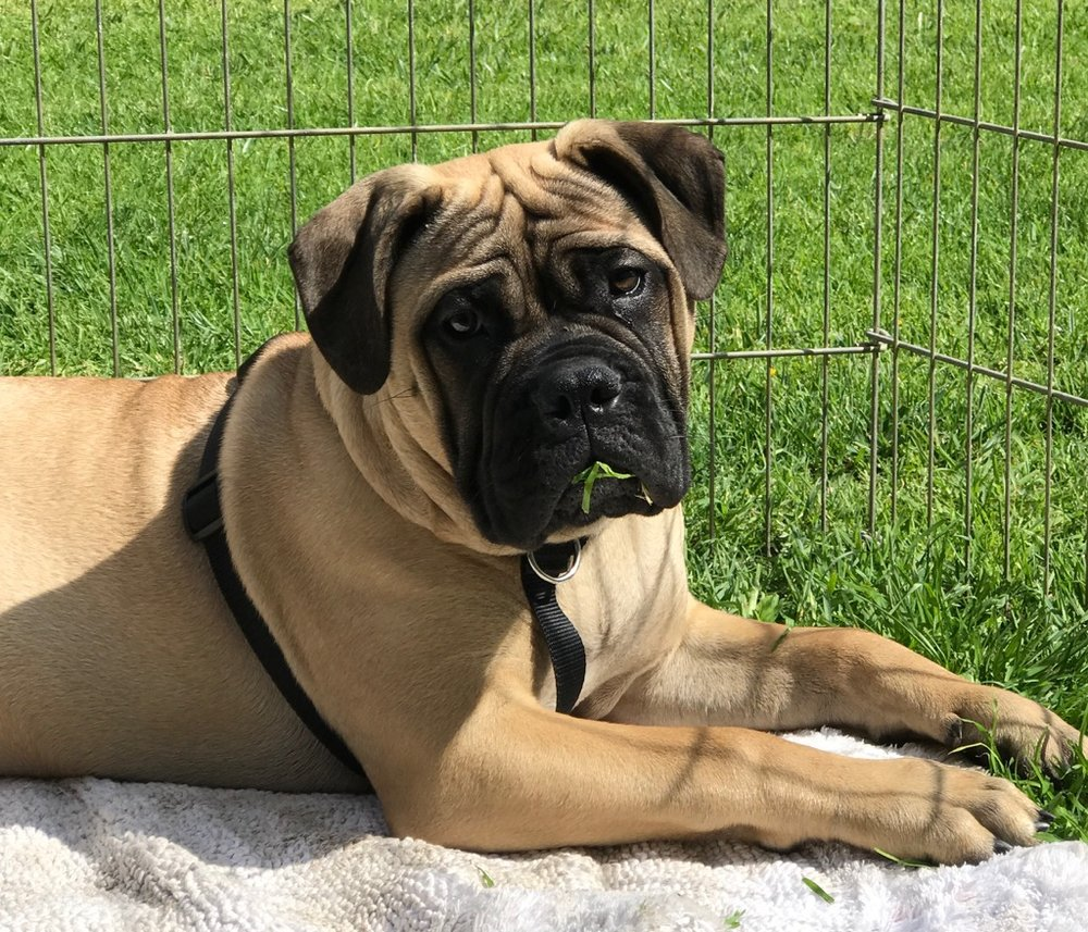 This is Bella, my Bullmastiff!!   She comes with me every day at the studio, and I have a little area in the sun she likes to lay in, and eat the grass... Ohhhh Bella!