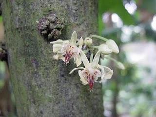 theobroma_cacao_fleurs