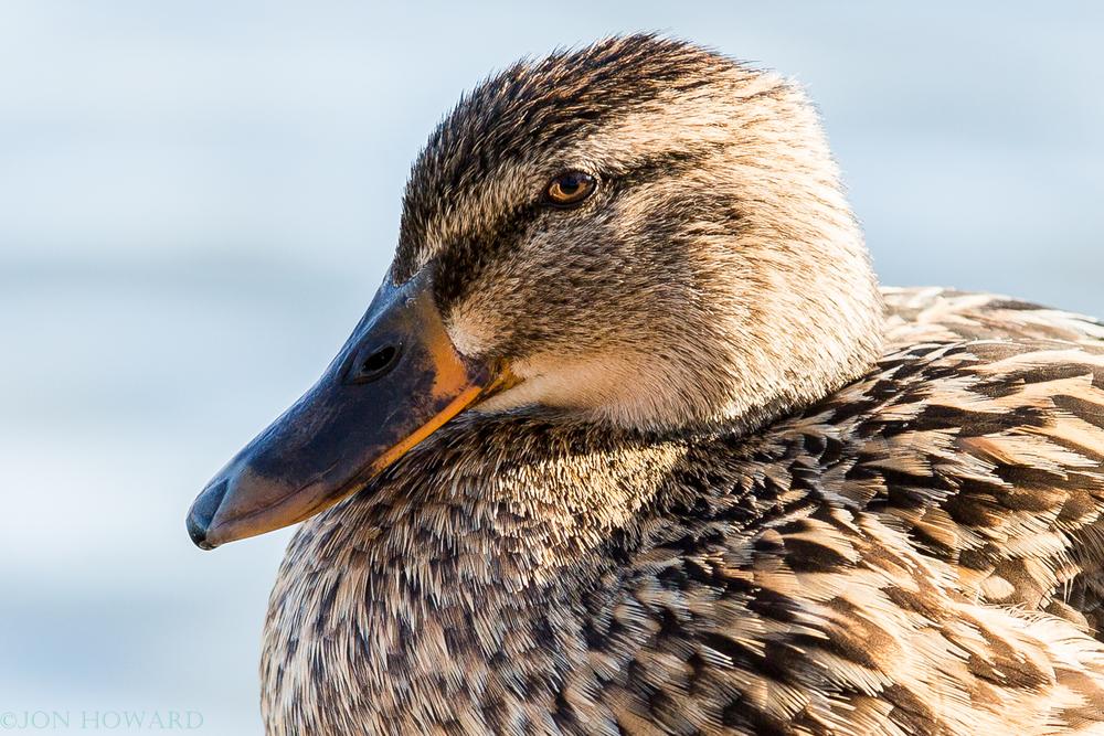 ducks-4.jpg
