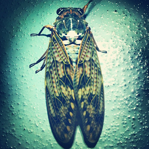 #cicada #insect (Taken with Instagram)