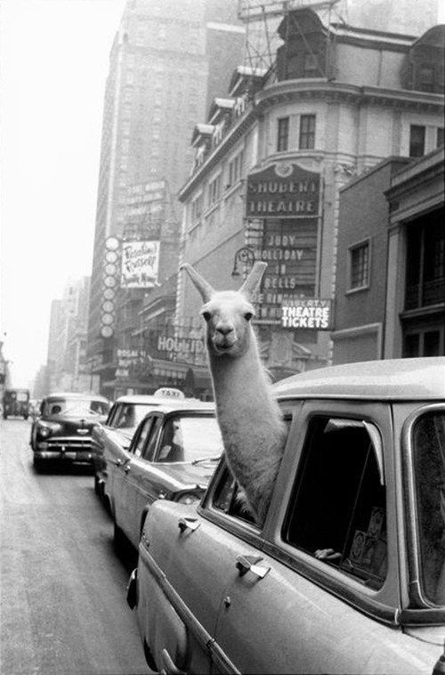 photojojo: Today's humorous animal photocourtesy ofInge Morath! This iconic photo was orginally shot for a LIFE Magazineeditorial. Check out the full story below! A Llama in Times Square via FFFFOUND